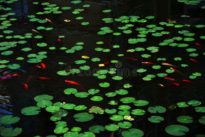 De bladeren van Lotus en rode vissen stock afbeeldingen