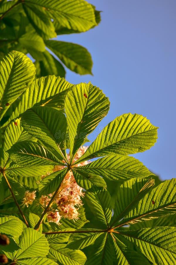 De Bladeren van de paardekastanjeboom in Wisconsin royalty-vrije stock afbeeldingen