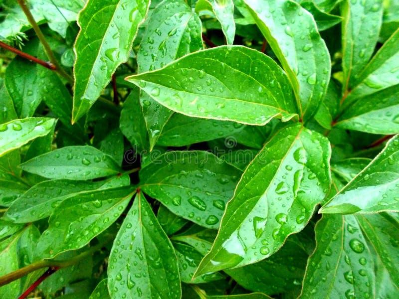 De bladeren van pioen met dalingen van regengebied stock foto's