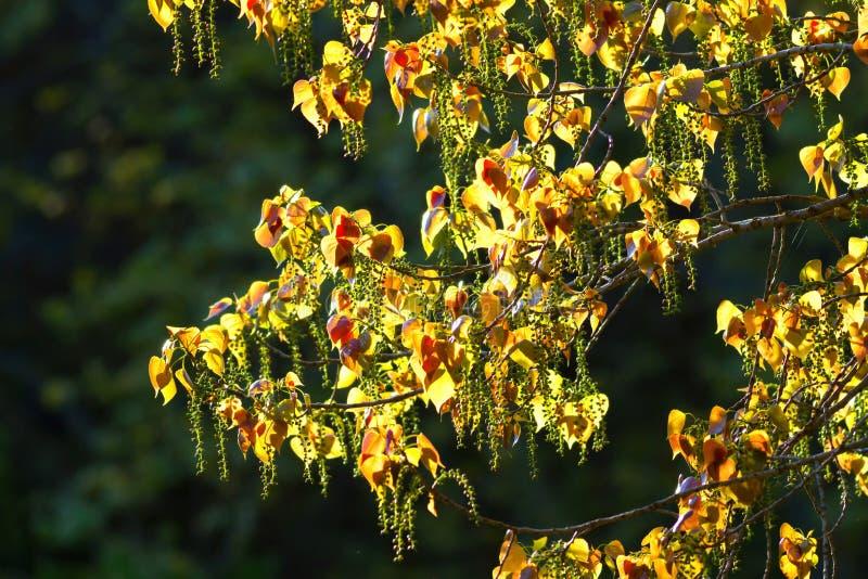 De bladeren van Populus stock foto's