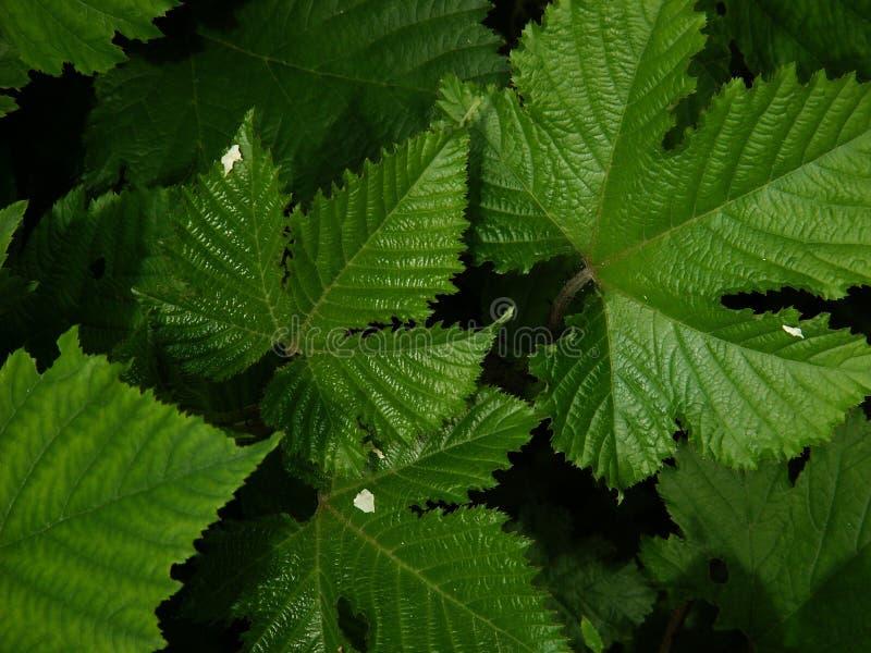 De bladeren van Rubus stock afbeeldingen
