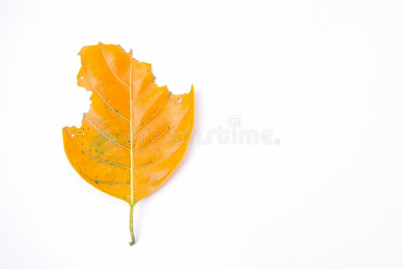 De bladeren worden gegeten door wormen stock foto's