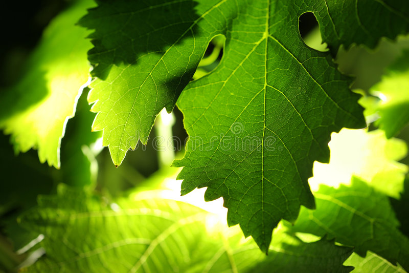 De bladerenachtergrond van de druif stock foto
