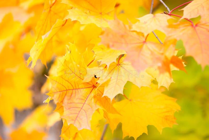 De bladerenachtergrond van de esdoornherfst stock afbeeldingen