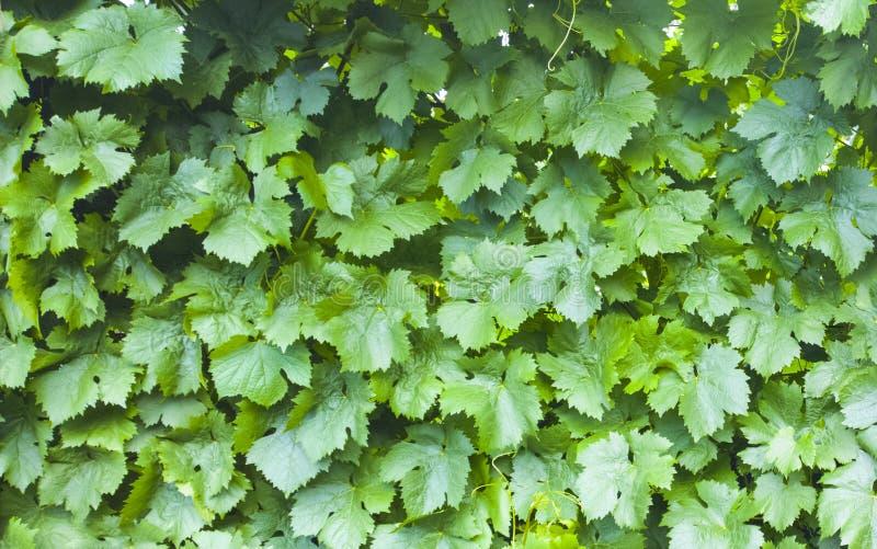 De bladerenachtergrond van de druif Wijngaardpatroon De textuur van de aard royalty-vrije stock fotografie