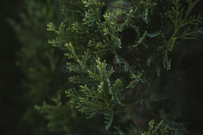 De bladerentextuur en achtergrond van de cipresboom Sluit omhoog mening van cipres groene bladeren stock afbeeldingen