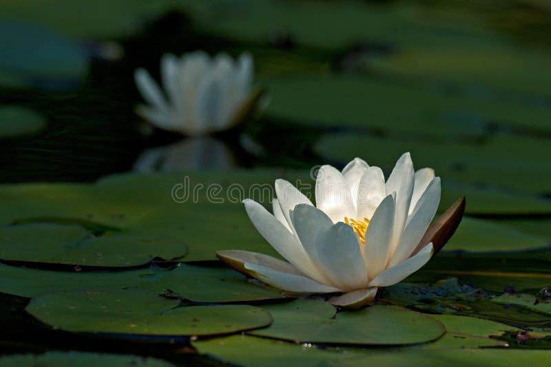 De blanc feuille d'albaamong de Nymphaea waterlily photographie stock libre de droits