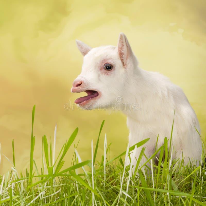 De blatende geit van de babymelk royalty-vrije stock fotografie