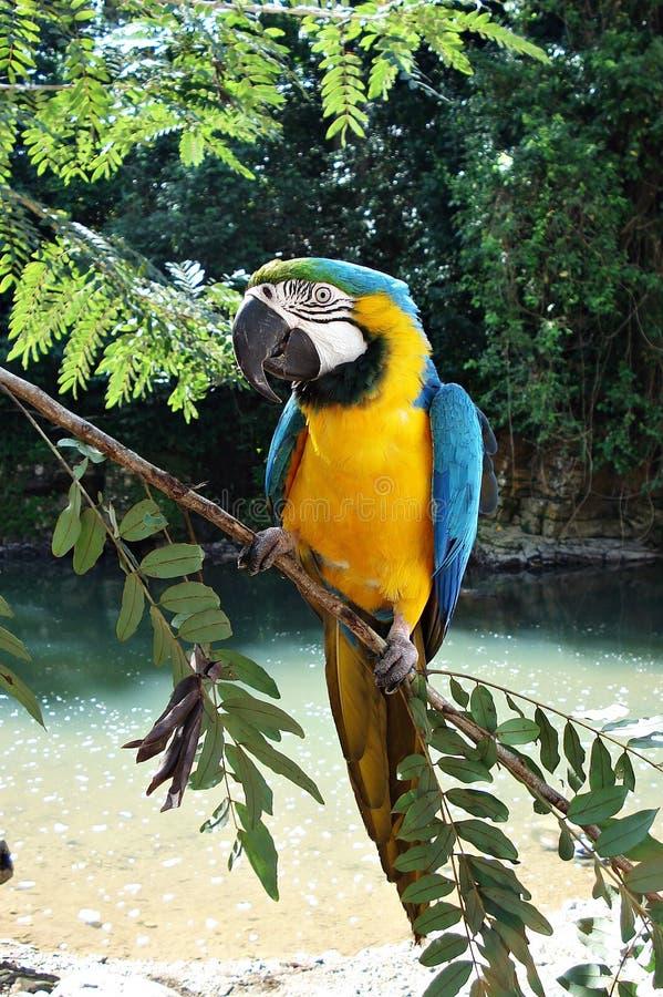 De blauw-en-gele ara, Ara Ararauna, mooie vogel stock foto