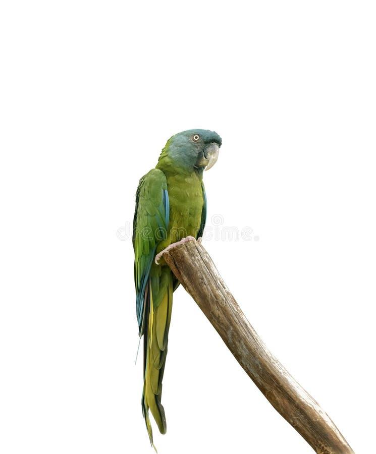De blauw-geleide ara of de ara van Coulon zitten op de boom Geïsoleerde royalty-vrije stock fotografie