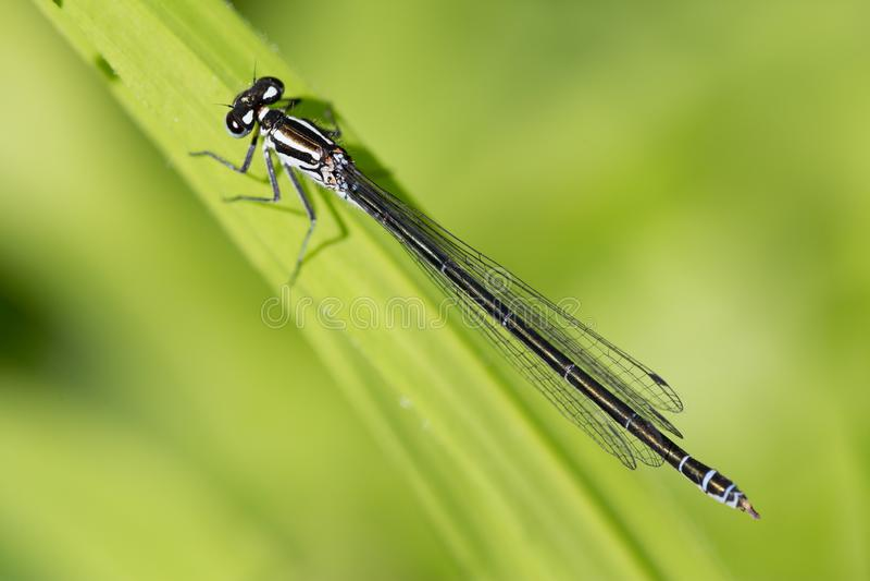De blauw-de steel verwijderde van zitting van damselflyischnura elegans op groen blad royalty-vrije stock fotografie