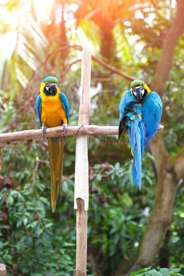 De blauwe ara's streken op een houten post neer genietend van de warmte van de avondzon stock fotografie