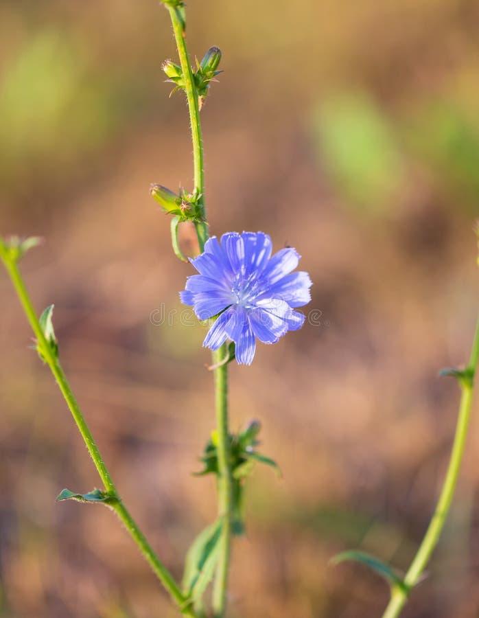 De blauwe bloem groeit in aard stock afbeelding