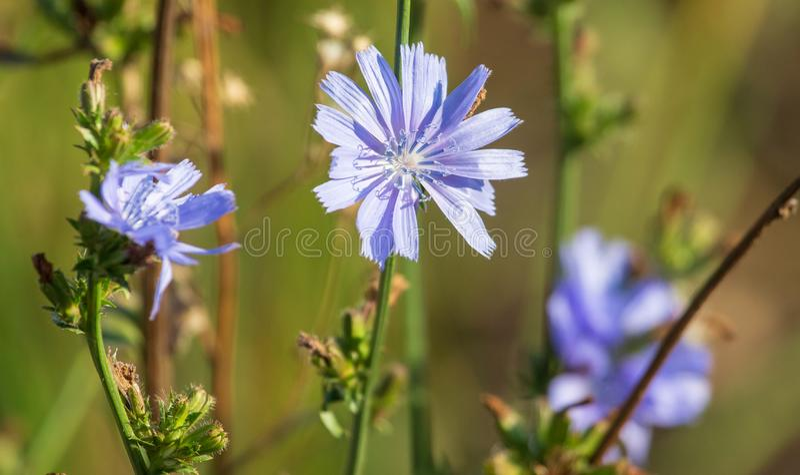 De blauwe bloem groeit in aard royalty-vrije stock foto's