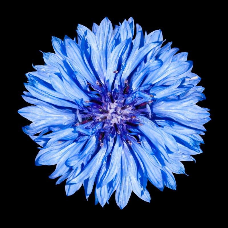 De blauwe Bloem van de Korenbloem - cyanus Centaurea stock fotografie