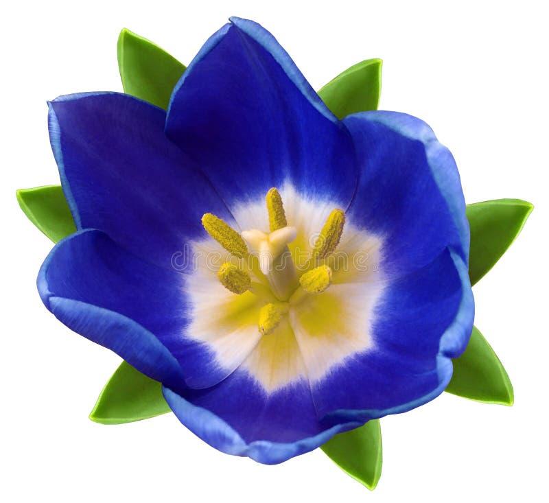 De blauwe bloem van de Tulp Witte geïsoleerde achtergrond met het knippen van weg close-up Geen schaduwen Voor ontwerp stock foto's
