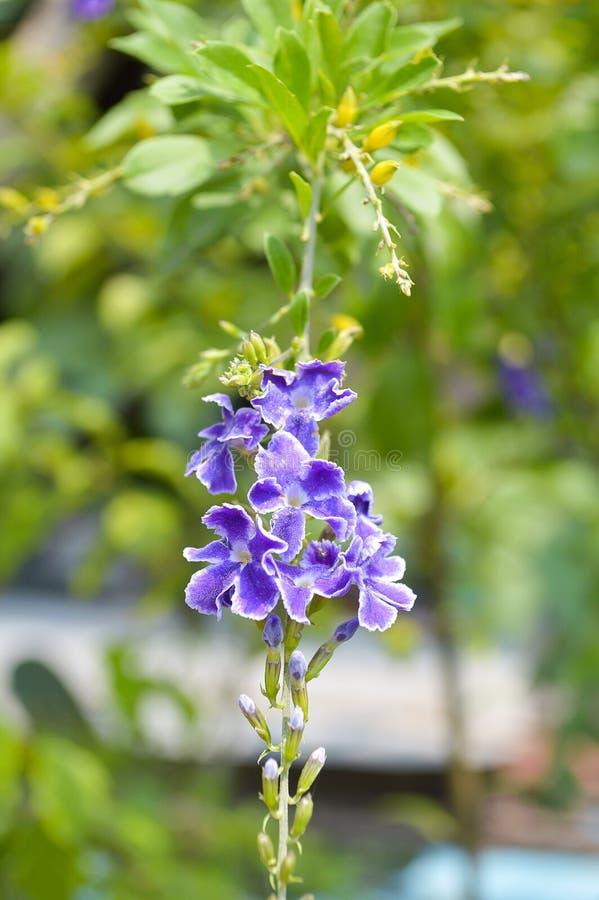 De blauwe bloem van Duranta repens in aardtuin stock fotografie