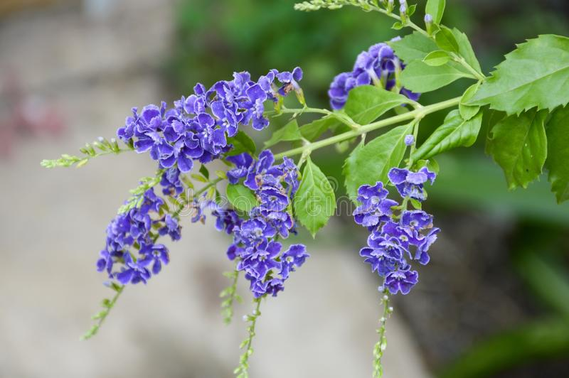 De blauwe bloem van Duranta repens in aardtuin stock foto