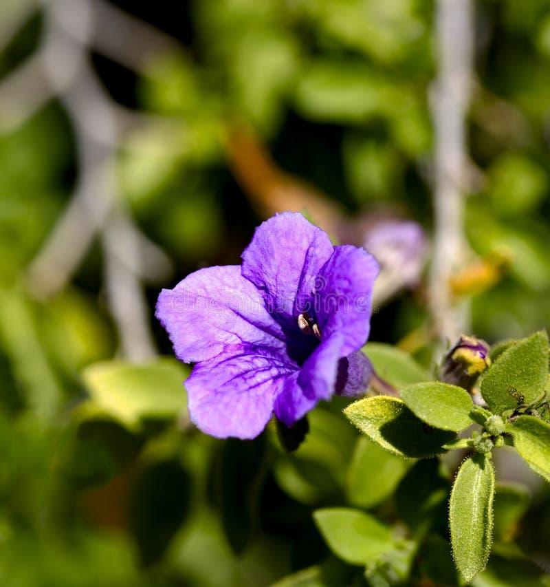 De blauwe bloem van Woestijnruellia in Tucson stock foto's