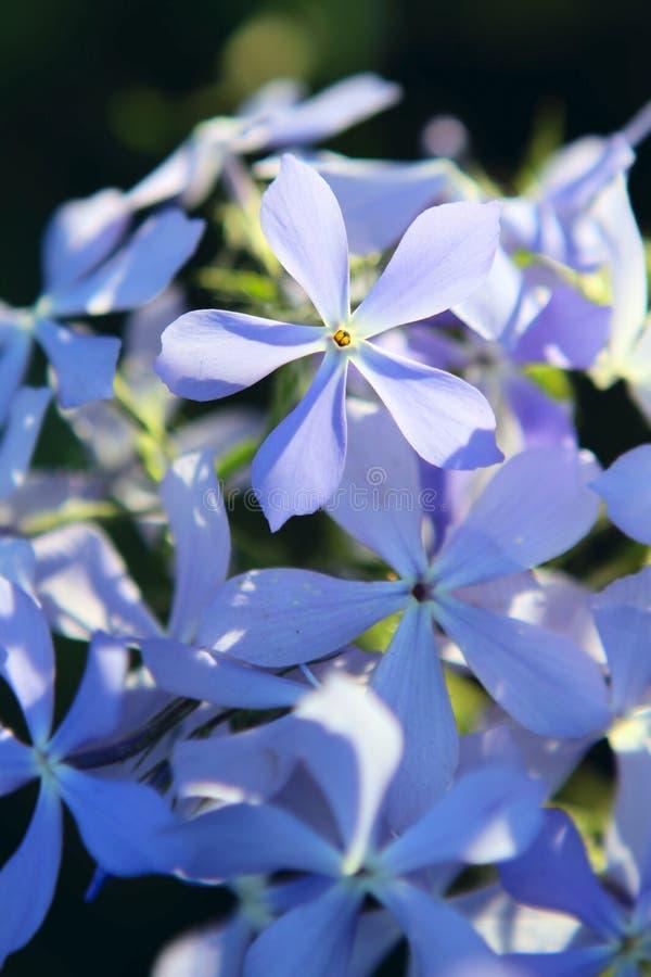 De blauwe bloemen van de Flox stock foto's