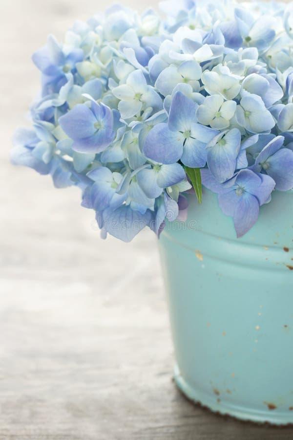 De blauwe bloemen van de pastelkleurhydrangea hortensia stock afbeeldingen