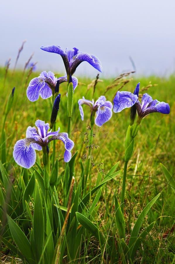 De blauwe bloemen van de vlagiris royalty-vrije stock fotografie