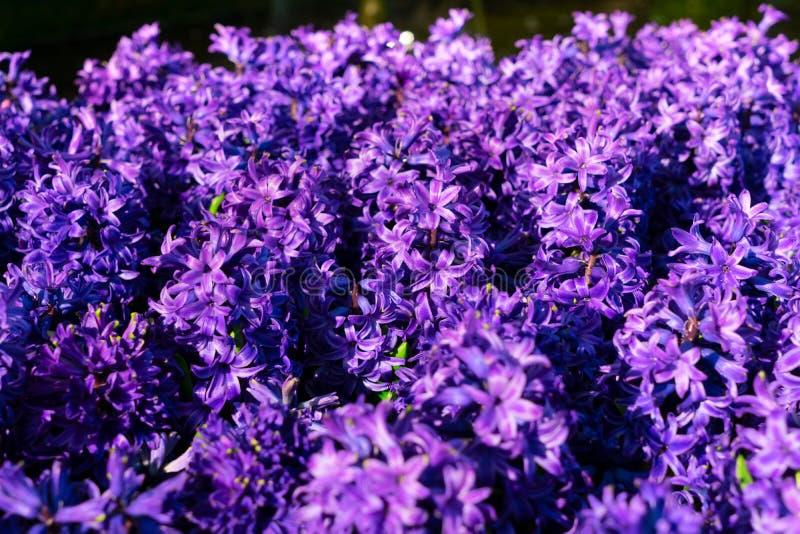 De blauwe bloemen van de Hyacint royalty-vrije stock foto