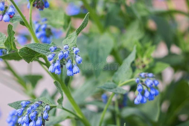 De blauwe bloemenklokken tuinieren installaties dichte omhooggaand stock fotografie