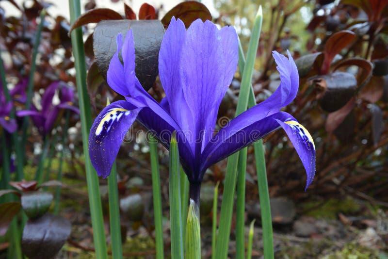 De blauwe dwergharmonie van irisreticulata met stuifmeel royalty-vrije stock foto