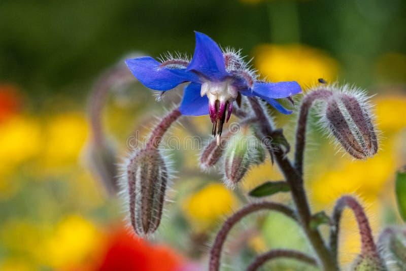 De blauwe eetbare borage bloeit het groeien op een gebied van kleurrijke wilde die bloemen, in Gunnersbury, West-Londen het UK wo royalty-vrije stock fotografie