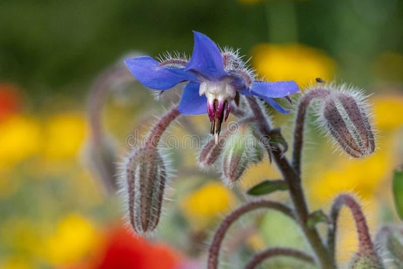 De blauwe eetbare borage bloeit het groeien op een gebied van kleurrijke wilde die bloemen, in Gunnersbury, West-Londen het UK wo stock afbeelding