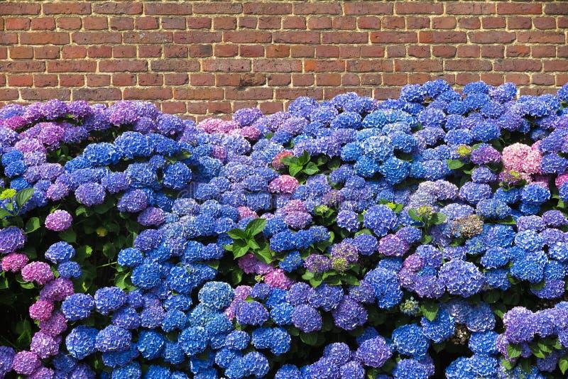 De blauwe en purpere bloeiende hortensiabloemen tegen rode bakstenen muur van oud Nederlands landbouwbedrijf huisvesten - Nederla stock afbeeldingen