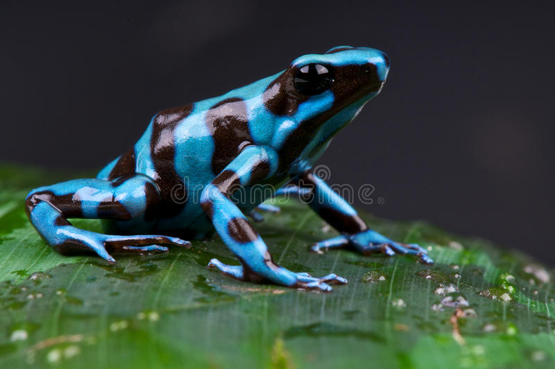 De blauwe en zwarte kikker van het vergiftpijltje stock fotografie