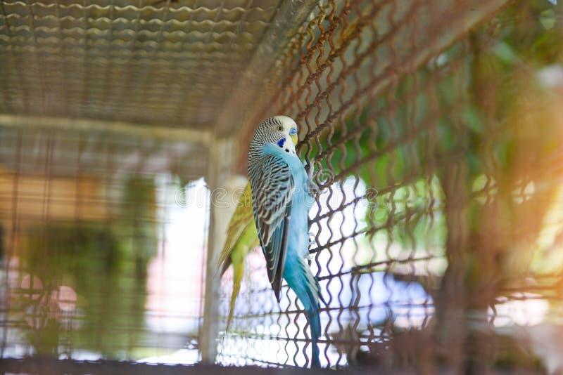 De blauwe gezelschapsvogel van de budgiepapegaai of grasparkietparkiet gemeenschappelijk in het landbouwbedrijf van de kooivogel royalty-vrije stock afbeelding