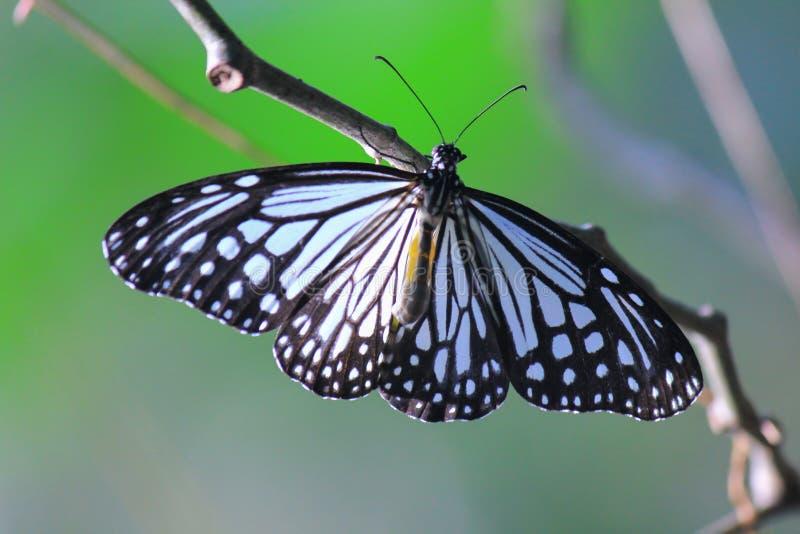 De blauwe Glazige Vlinder van de Tijger stock foto