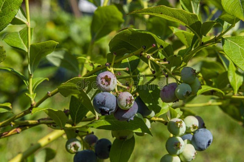 De blauwe grote bosbes met groen doorbladert in zonnige de zomerdag royalty-vrije stock afbeeldingen