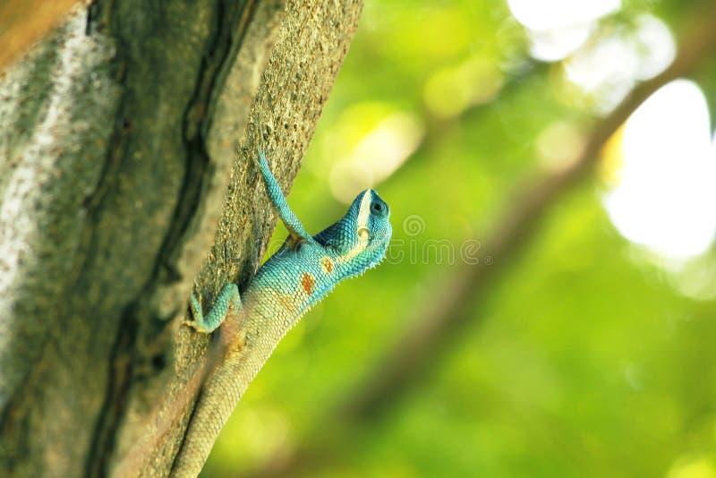 De blauwe hagedissen beklimmen op bomen stock foto