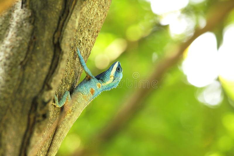 De blauwe hagedissen beklimmen op bomen royalty-vrije stock afbeeldingen