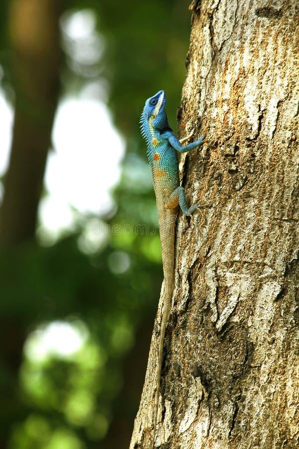 De blauwe hagedissen beklimmen op bomen in aard stock foto