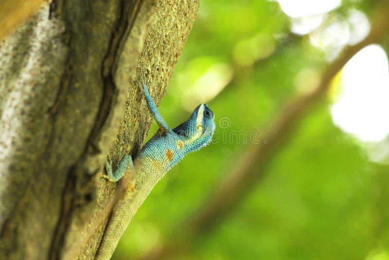 De blauwe hagedissen beklimmen op bomen in aard stock afbeelding