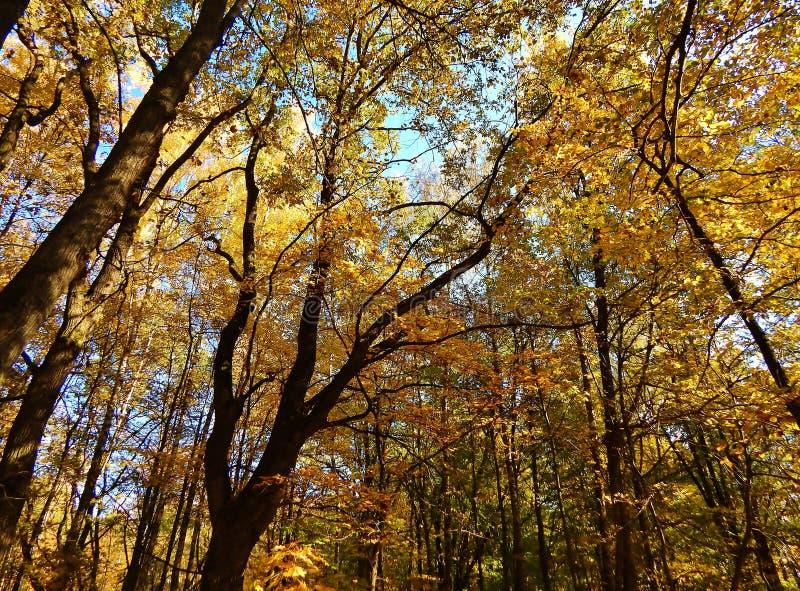 De blauwe hemel is zichtbaar door de gele kroon van bomen royalty-vrije stock foto's