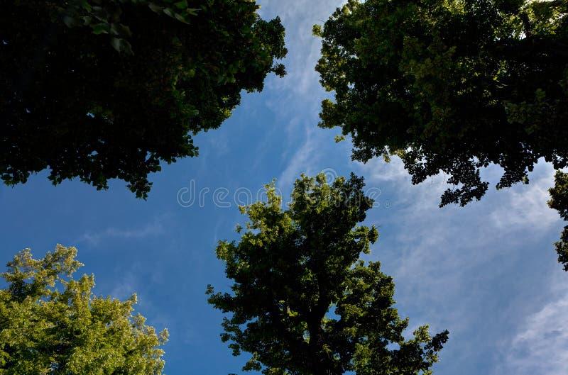 De blauwe de hemelzomer van kronenbomen royalty-vrije stock foto's