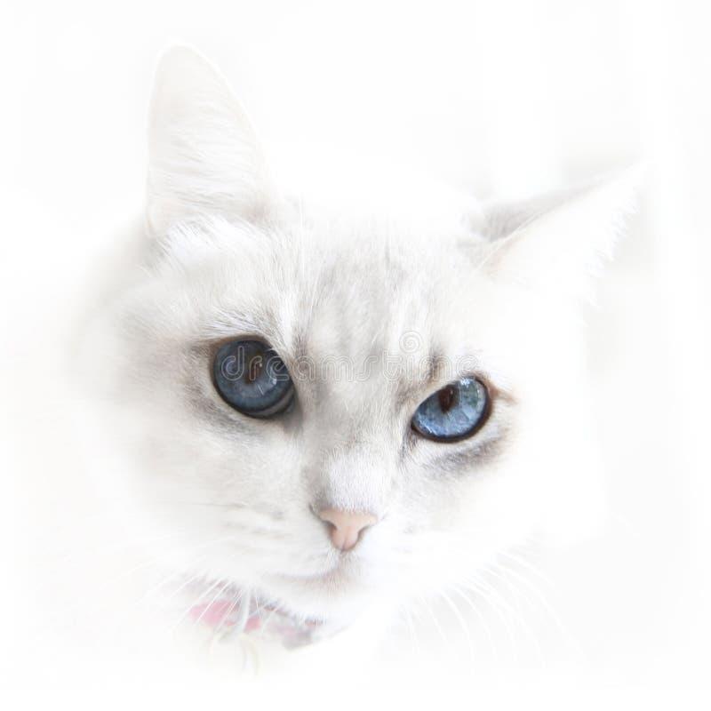 Witte kat met blauwe ogen stock afbeelding