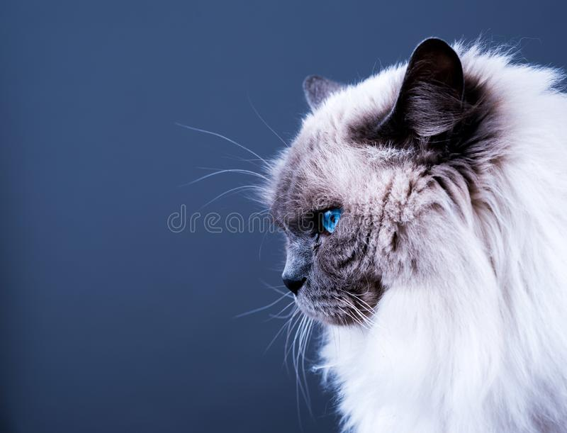 De blauwe Kat van Puntragdoll royalty-vrije stock foto's