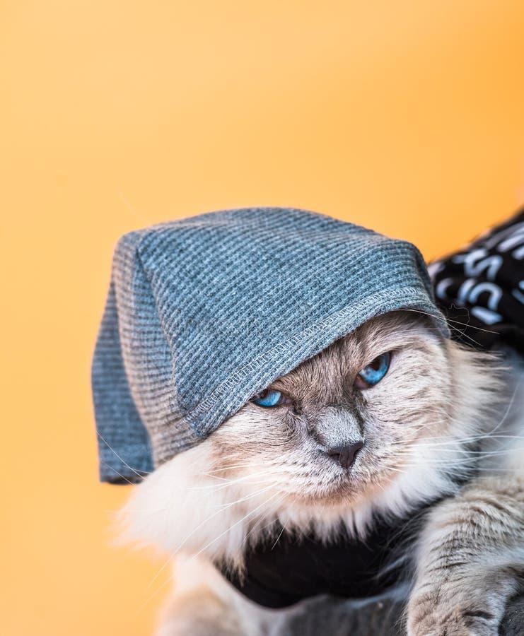 De blauwe Kat van Puntragdoll in Hoodie royalty-vrije stock foto