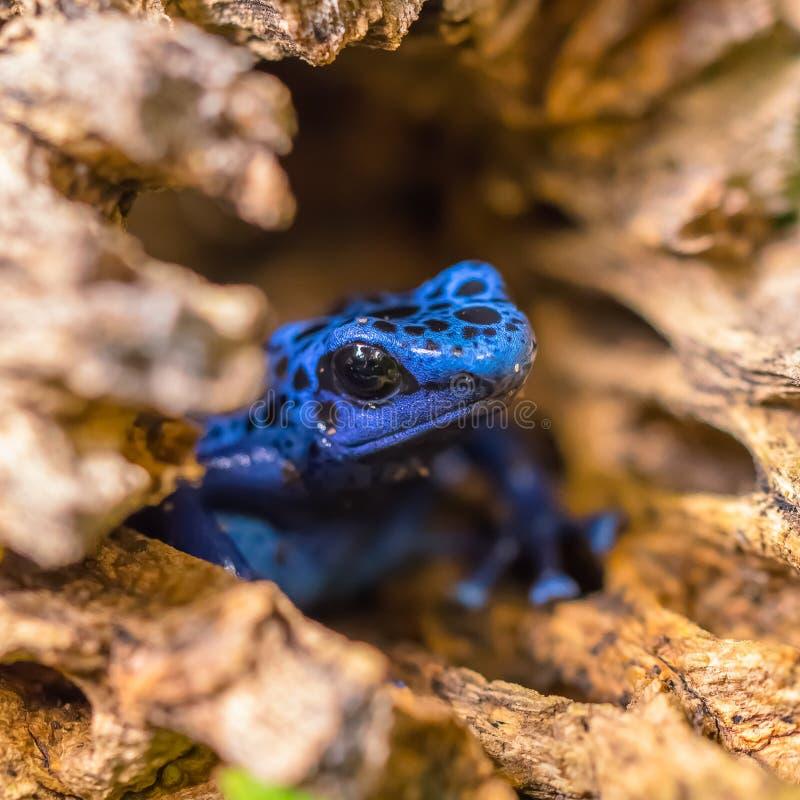 De blauwe Kikker die van het Vergiftpijltje uit een Logboek te voorschijn komen stock foto's