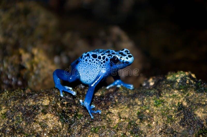 De blauwe kikker van het vergiftpijltje royalty-vrije stock foto