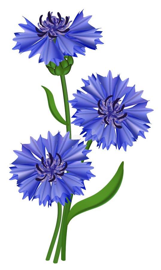 De blauwe korenbloem van bloemen (cyanus Centaurea). vector illustratie