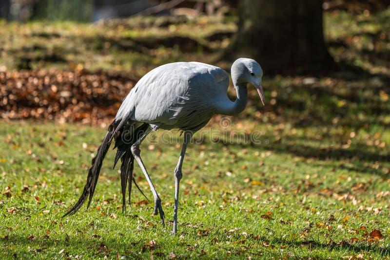 De Blauwe Kraan, Grus-paradisea, is een bedreigde vogel stock foto's