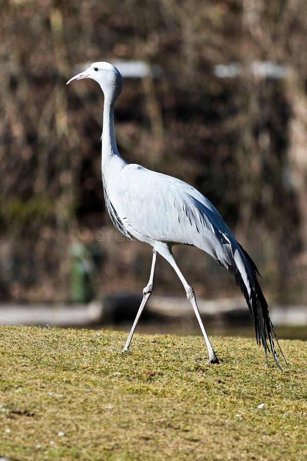 De Blauwe Kraan, Grus-paradisea, is een bedreigde vogel stock fotografie